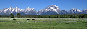 Grazing Snow Metal Prints - Grand Teton Buffalo Metal Print by Brian Harig