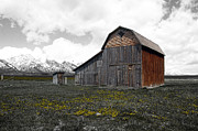 Rustic Photo Framed Prints - Grand Teton National Park Barn on Mormon Row Color Splash Framed Print by Shawn OBrien