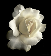 White Florals Prints - Grandeur Ivory Rose Flower Print by Jennie Marie Schell