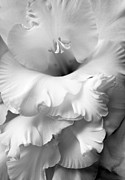Silver And Black Framed Prints - Grandiose Gladiola Flower Monochrome  Framed Print by Jennie Marie Schell
