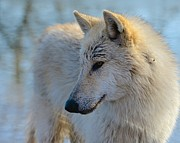 Arctic Wolf Photos - Grandma was an Arctic by Douglas Perry