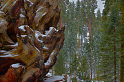Sequoia Tree Prints - Grant Grove - Kings Canyon Print by Stephen  Vecchiotti