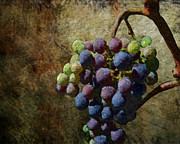 Vine Grapes Posters - Grape Harvest Poster by Karen  Burns