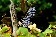 Purple Grapes Framed Prints - Grape Harvest Framed Print by Neal  Eslinger
