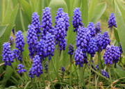 Grape Hyacinths Posters - Grape Hyacinth Poster by Carol Groenen