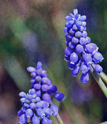 Deena Stoddard - Grape Hyacinth