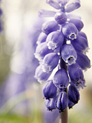 White Grape Posters - Grape Hyacinth Poster by Emily Kelley