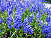 Art Photography Prints - grape hyacinth Traubenhyazinthen Print by Art Photography