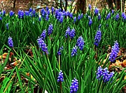 Julie Dant Art Acrylic Prints - Grape Hyacinths II Acrylic Print by Julie Dant