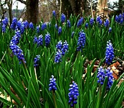Grape Hyacinths Posters - Grape Hyacinths Poster by Julie Dant