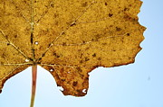 Grape Leaf Prints - Grape Leaf Print by Benjamin Vogt