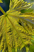 Grapes Art Framed Prints - Grape Leaf Detail Framed Print by Heidi Smith