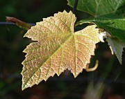 Grape Leaf Prints - Grape Leaf in Focus Print by Dakota Light Photography by Nadene