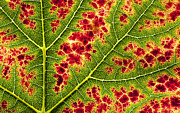 Fall Colors Autumn Colors Metal Prints - Grape Leaf Texture Metal Print by Tim Gainey