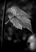 Grape Leaf Framed Prints - Grape Leaf Vitis sp Framed Print by Nathan Abbott