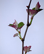 Grape Leaves Photos - Grape Leaves by Cynthia Syracuse