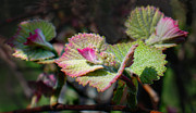 Grape Leaves Prints - Grape Leaves in Spring Print by Steve Karol