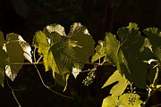 Grape Leaf Prints - Grape leaves Print by Maria Bedacht