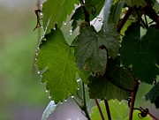 Grape Leaves Posters - Grape Leaves With Dew On Every Point Poster by Rae Ann Garrett