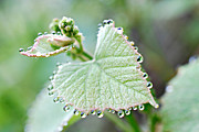 Grape Leaves Posters - Grape Leaves with Tiny Droplets Poster by Lila Fisher-Wenzel