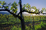 Grape Leaves Photos - Grape Vine in Spring by Craig Lovell