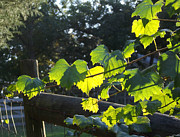 Duluth Art - Grape Vine in the Sun by Cheryl Hardt