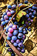 Blue Grapes Framed Prints - Grape Vines Framed Print by Amber Summerow