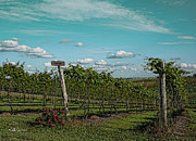 Silver Hills Winery Prints - Grape Vines Print by Jeff Swanson