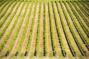Tim Hester - Grape Vines