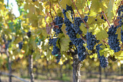 Wine Making Posters - Grape Vineyard in Autumn Poster by Brandon Bourdages