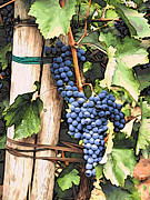Blue Grapes Photos - Grapes 1 by Jacklyn Duryea Fraizer