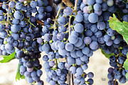Canvas Wine Prints Prints - Grapes 2 Print by Claude Dalley
