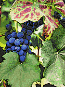 Blue Grapes Posters - Grapes 3 Poster by Jacklyn Duryea Fraizer