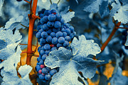 Grape Leaves Prints - Grapes - Blue  Print by Hannes Cmarits
