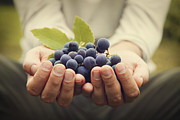Blue Grapes Photos - Grapes harvest by Mythja  Photography