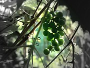 Linda Francis - Grapes in Arbor