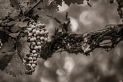 Vineyard Art Posters - Grapes in Grey 1 Poster by Clint Brewer