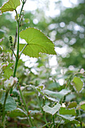 Grape Leaves Photos - Grapes in the Making  by Lila Fisher-Wenzel