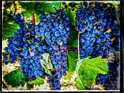 Blue Grapes Photographs Prints - Grapes Of Art 3 Print by Roxy Hurtubise