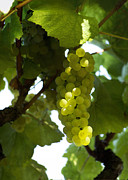 Pinot Grigio Posters - Grapes of light Poster by Stan Angel