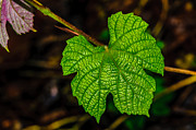 Grape Leaves Photo Posters - Grapes of Rath Poster by Louis Dallara