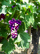 Grapes Art Prints - Grapes Of Tuscany Italian Winery  Print by Irina Sztukowski
