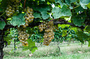 Winery Photography Posters - Grapes on the Grapevine Poster by Atousa Raissyan