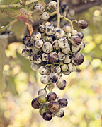 Bunch Of Grapes Framed Prints - Grapes on the Vine Framed Print by Angela Bonilla