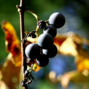 Winery Photography Prints - Grapes on the Vine in Square  Print by Neal  Eslinger