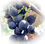 Home Grown Posters - Grapes On The Vine Poster by Kathleen Struckle