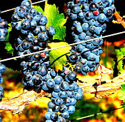 Windy Point Winery Photo Posters - Grapes on the Vine Poster by Kay Gilley