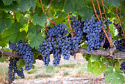 Blue Grapes Photos - Grapes on the Vine Long Horizontal Row of Sweet Ripe Fruit by Christopher Boswell