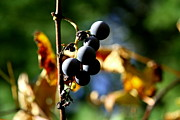 Winery Photography Prints - Grapes on the Vine No.2 Print by Neal  Eslinger