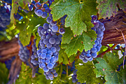 Purple Grapes Framed Prints - Grapes on the vine Framed Print by Rosanne Nitti